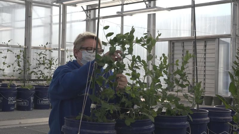 Produce being raised at UMPI's greenhouse will be given to students dealing with food...