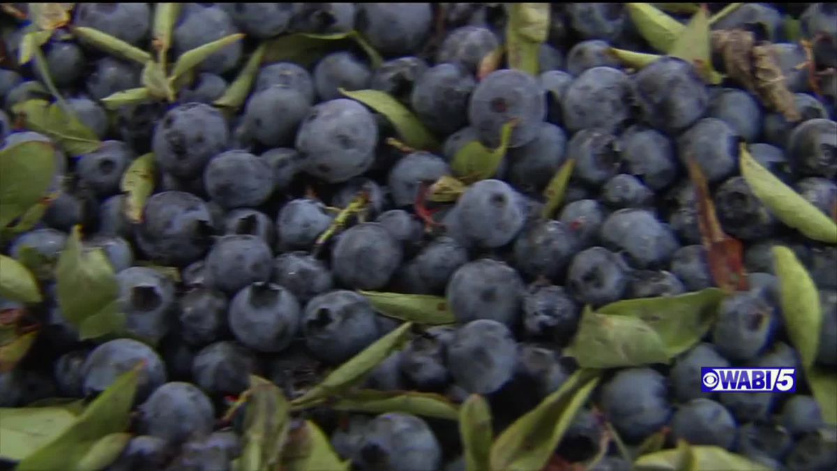 """July has been officially designated as """"National Blueberry Month."""""""