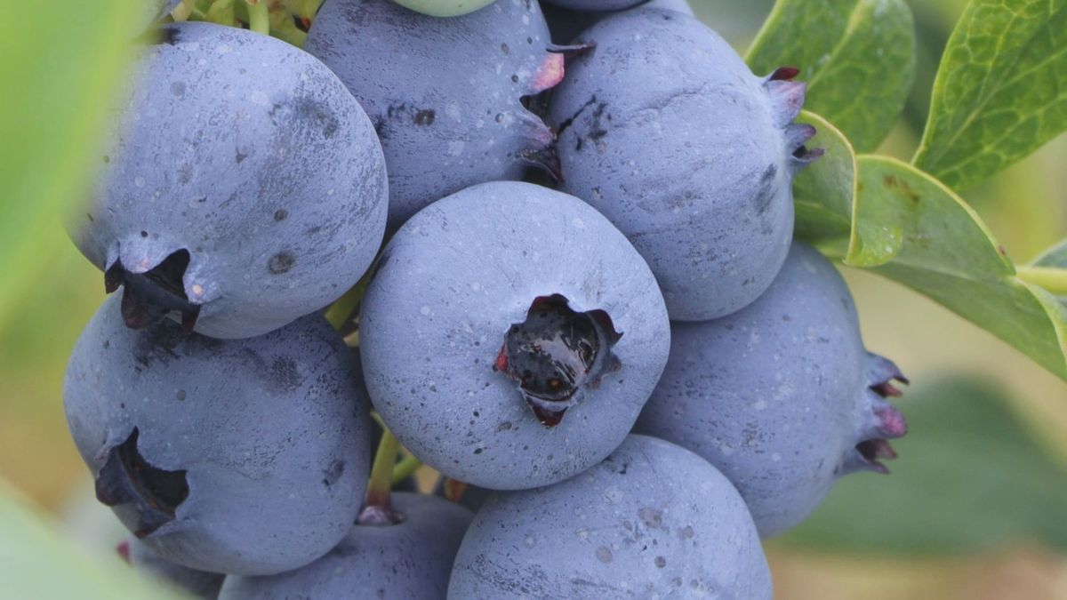 Blueberry farmers say this years crop is some of the best they have seen in five years.