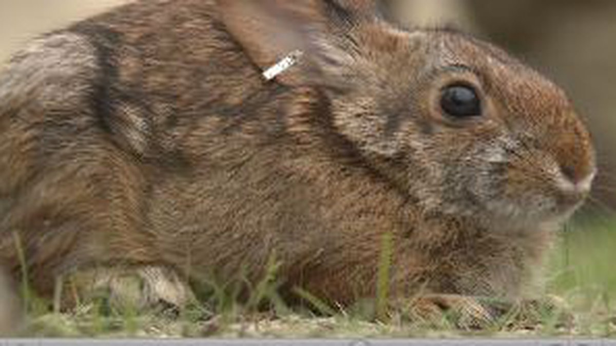 New England cottontails are known to live in only six towns in Maine and all are south of...