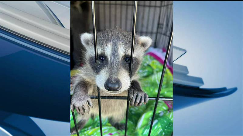 One of MWT's rescued raccoons