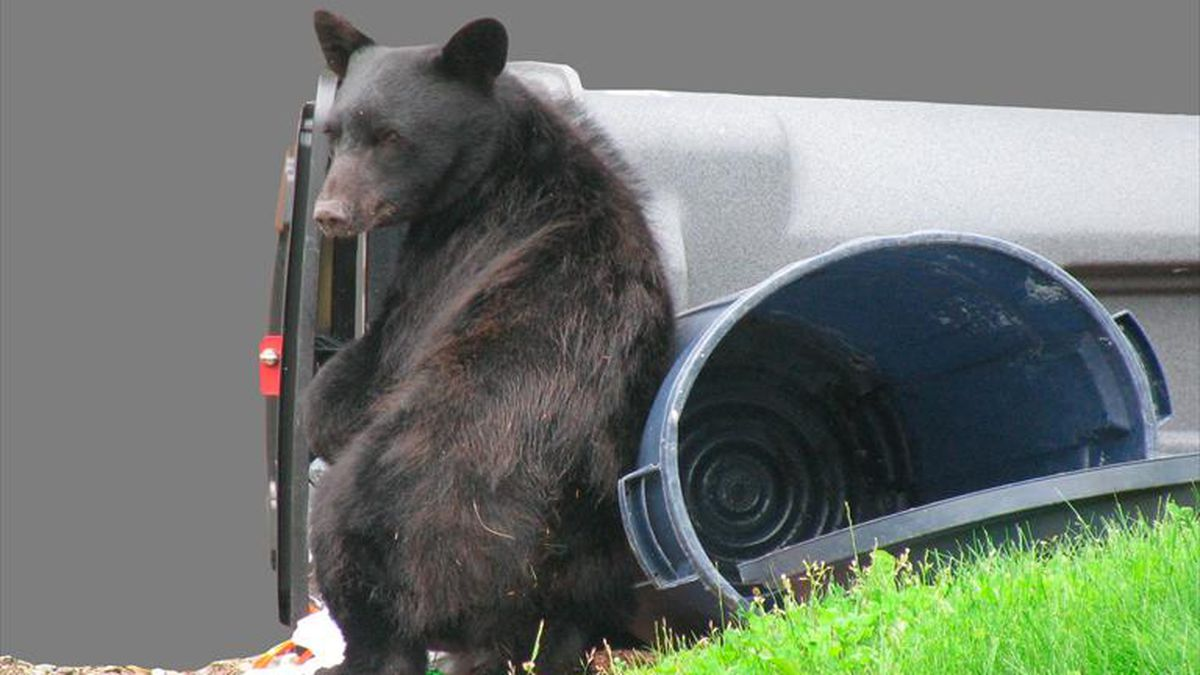 Black bear in garbage cans