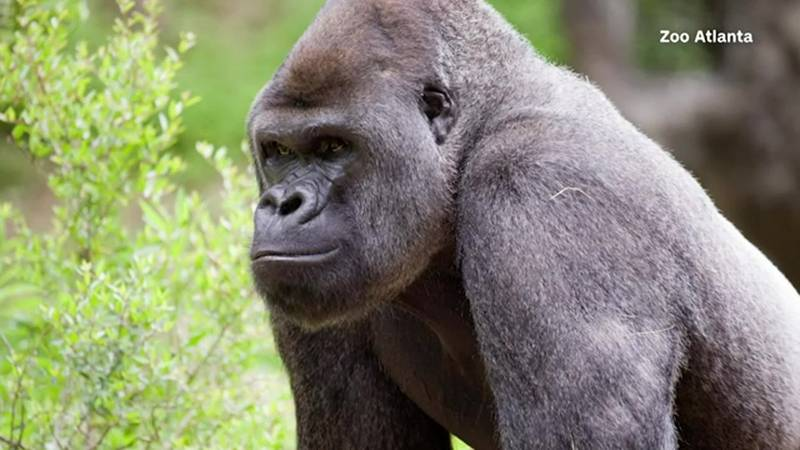 Gorillas at Zoo Atlanta test positive for COVID-19. The affected gorillas are now being treated.