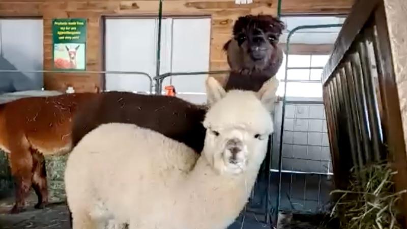 Maine Alpaca Experience.