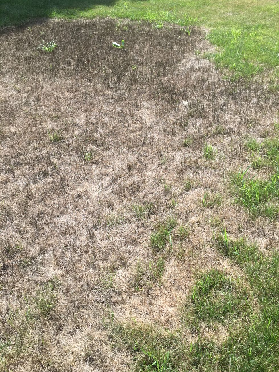 Black Lawns In Maine Caused By Fungus And Weather